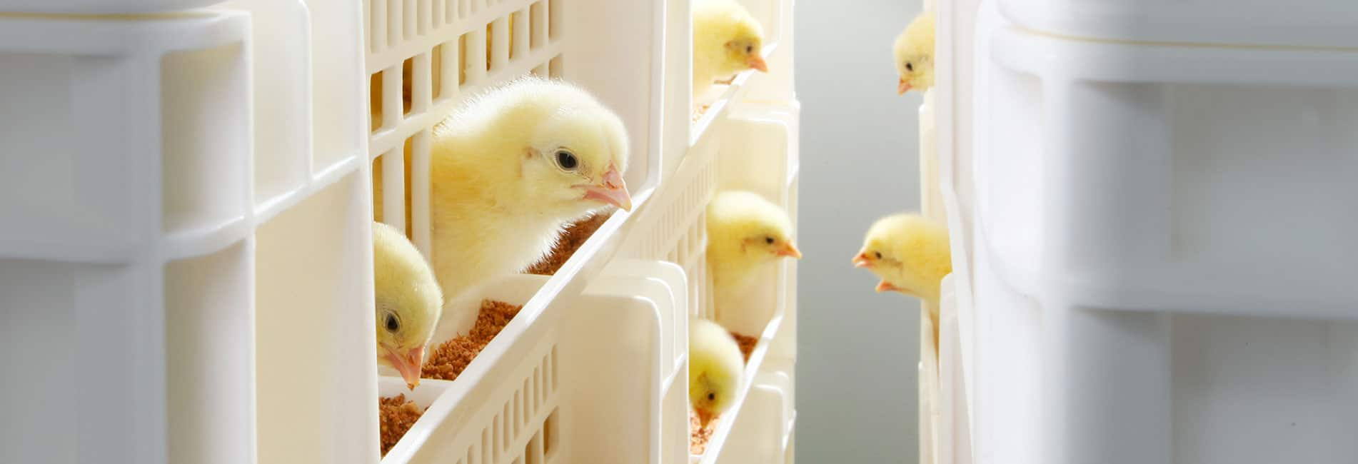 Hatchtrack chicken industry
